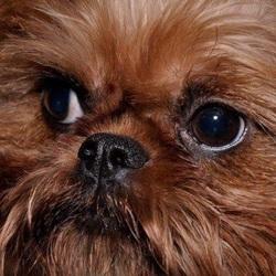 Raffie, chien Griffon bruxellois