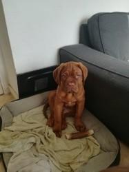 Ragnar, chiot Dogue de Bordeaux