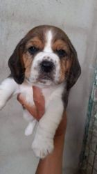 Ragnar, chiot Beagle