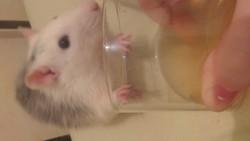 Ragout, rongeur Rat