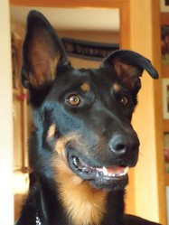 Railey, chien Beauceron