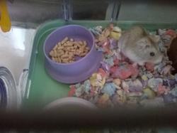 Rainette, rongeur Hamster