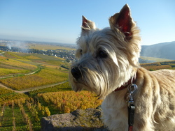 Rainette, chien Cairn Terrier
