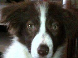 Uzume, chien Border Collie