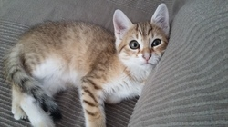 Rajah, chat Européen