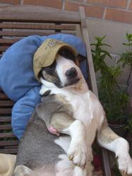 Raki, chien Bull Terrier