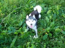 Ralf, chien Husky sibérien