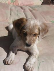 Ralph, chien Épagneul breton