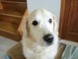 Ralph, chien Golden Retriever