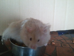Rambo, rongeur Hamster