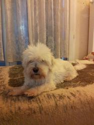Rambo, chien Bichon maltais