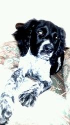 Rambo, chien Épagneul breton