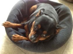 Rambo, chien Pinscher