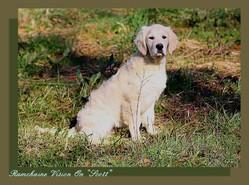 Ramchaine Vision On Dit Scott, chien Golden Retriever