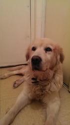 Ramses, chien Golden Retriever