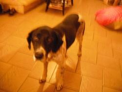Ramses, chien Épagneul français