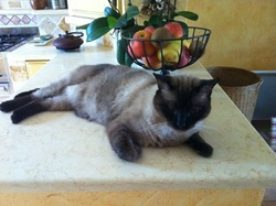 Ramses, chat Siamois