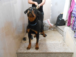 Ramses, chien Rottweiler