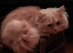 Ramsès, chat Persan