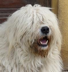 Ranek, chien Berger de Russie