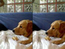 Ranger, chien Golden Retriever