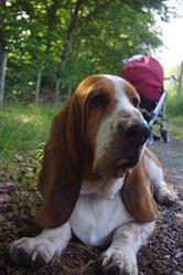 Rantanplan, chien Basset Hound