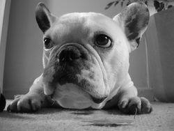Raoul, chien Bouledogue français