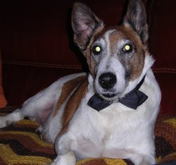 Raoul, chien Fox-Terrier