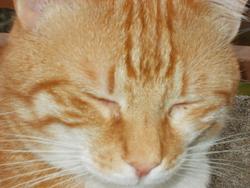 Raoul, chat Européen
