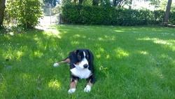 Rapsody, chien Bouvier de l'Entlebuch