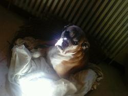 Rasta, chien Boxer