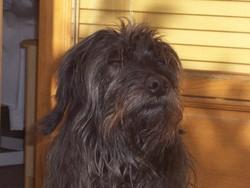 Rasta, chien Terrier tibétain