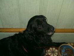 Rasta, chien Labrador Retriever