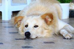 Rasta, chien Golden Retriever