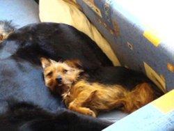 Rastarokette, chien Cairn Terrier