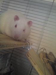 Rat Root'S, rongeur Rat
