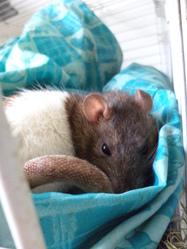 Rat'Zounette, rongeur Rat