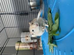 Rata, rongeur Gerbille