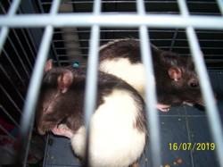 Ratata, rongeur Rat