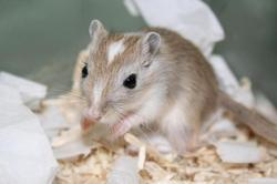 Ratatouille , rongeur Gerbille