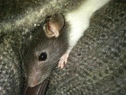 Ratatouille, rongeur Rat