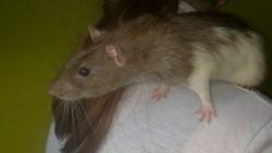 Ratatouille, rongeur