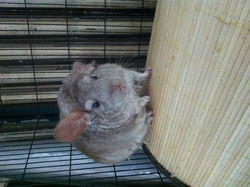 Ratatouille, rongeur Chinchilla