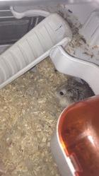 Ratatouille, rongeur Hamster