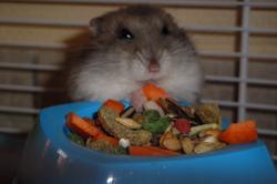 Ratatouille Au Paradis, rongeur Hamster