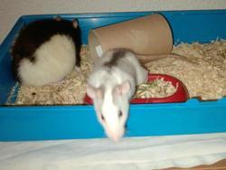 Ratatouille Et Lagaf, rongeur