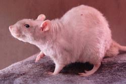 Inc Rataxès, rongeur Rat