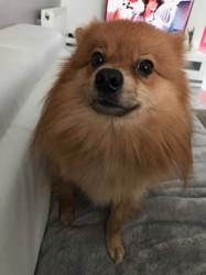Ratch, chien Spitz allemand