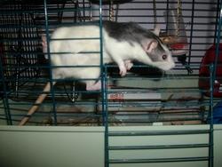 Ratchete, rongeur Rat
