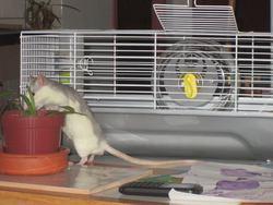 Ratchou, rongeur Rat